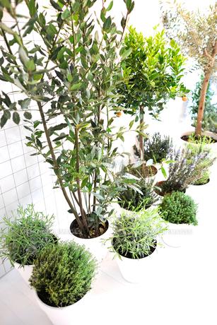 鉢植えのハーブの写真素材 [FYI00106663]