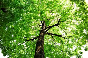 ブナの大木の写真素材 [FYI00106679]
