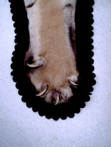 トラの敷物の写真素材 [FYI00106708]
