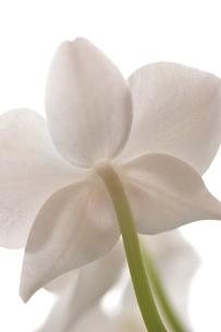 白い胡蝶蘭の写真素材 [FYI00106816]