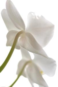 白い胡蝶蘭の写真素材 [FYI00106819]