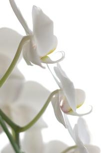白い胡蝶蘭の写真素材 [FYI00106831]