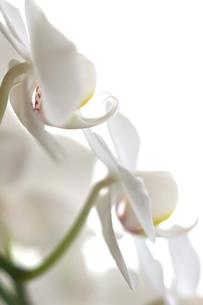 白い胡蝶蘭の写真素材 [FYI00106854]