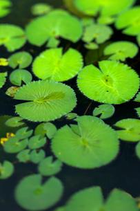 睡蓮の葉の写真素材 [FYI00106867]