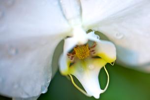 白い胡蝶蘭の写真素材 [FYI00106891]