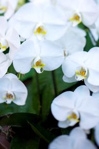 白い胡蝶蘭の写真素材 [FYI00106895]