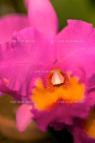 ピンク色の蘭の素材 [FYI00106906]