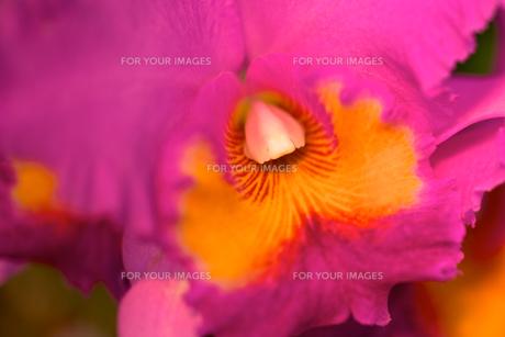 ピンク色の蘭の素材 [FYI00106907]