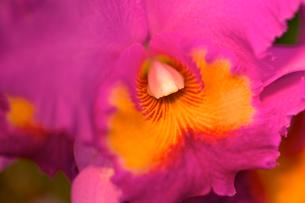 ピンク色の蘭の写真素材 [FYI00106907]