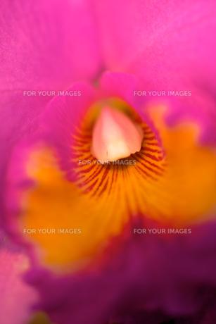 ピンク色の蘭の素材 [FYI00106913]