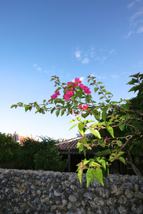朝陽のあたるブーゲンビレアの写真素材 [FYI00107015]