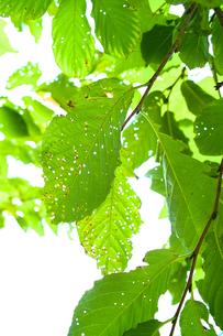 緑の葉の写真素材 [FYI00107039]