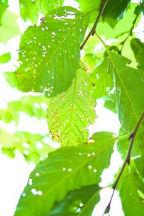 緑の葉の写真素材 [FYI00107042]