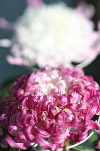 大輪の菊の素材 [FYI00107082]