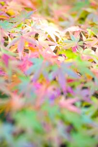 カラフルな紅葉の写真素材 [FYI00107184]