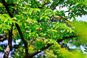 アセロラの木の素材 [FYI00107348]