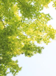 新緑見上げの写真素材 [FYI00107793]