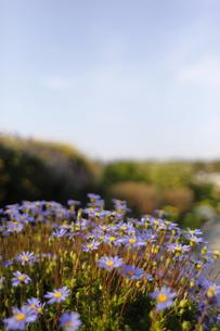 舞子公園花アップの写真素材 [FYI00107796]