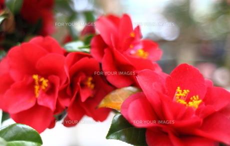 赤いツバキのアップの写真素材 [FYI00107801]