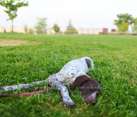 散歩途中に熟睡する子犬の写真素材 [FYI00107813]
