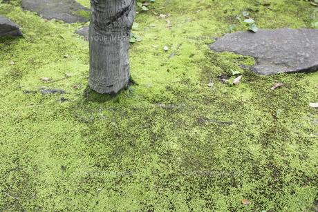 日本庭園の苔の写真素材 [FYI00107822]