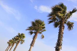椰子の木の写真素材 [FYI00107834]