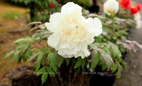 白牡丹の写真素材 [FYI00107837]