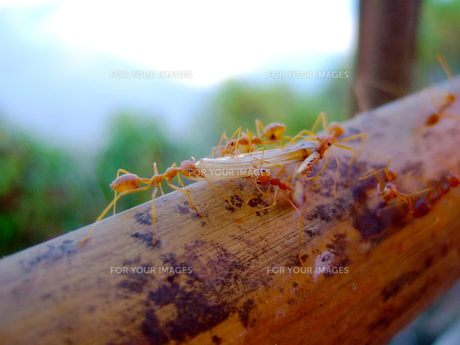 アリさん狩るの写真素材 [FYI00107912]