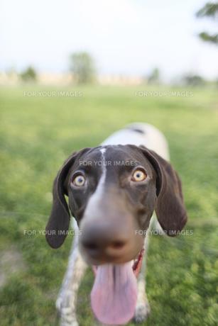 ジャーマンポインター子犬アップの写真素材 [FYI00107925]