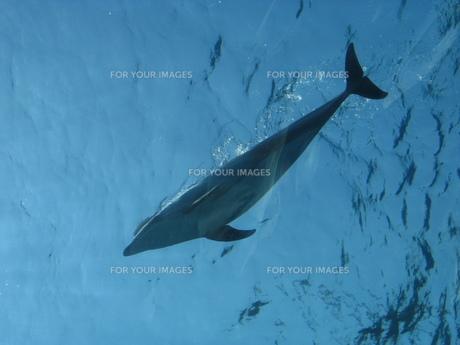 イルカの写真素材 [FYI00107965]