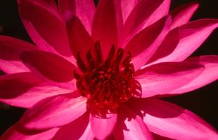 赤い睡蓮の写真素材 [FYI00107980]