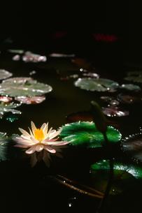 光に浮かぶ白い睡蓮の写真素材 [FYI00107985]
