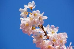 足柄桜 ハルメキの写真素材 [FYI00108150]