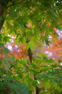 宮ヶ瀬の楓の写真素材 [FYI00108152]