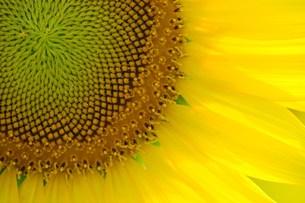 ヒマワリの花 右斜め下側の写真素材 [FYI00108237]