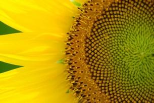 ヒマワリの花 左側アップの写真素材 [FYI00108289]