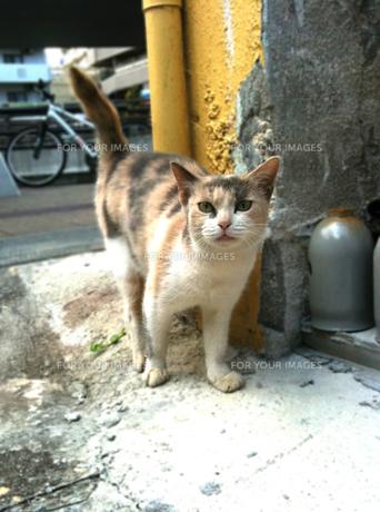 三毛猫の写真素材 [FYI00108709]