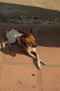 ホイアンの犬の写真素材 [FYI00108718]
