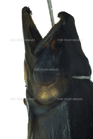 北海道産鮭トバの写真素材 [FYI00108746]