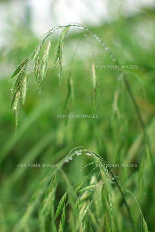 雨上がりの雑草の素材 [FYI00108808]