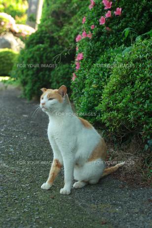 遠くを見ている猫の素材 [FYI00108823]