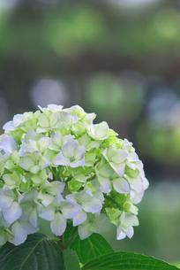 白い紫陽花の素材 [FYI00108829]