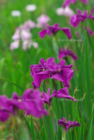 紫色の花菖蒲の素材 [FYI00108831]