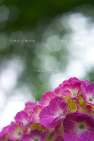 ピンク色の紫陽花の素材 [FYI00108833]