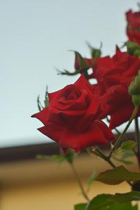 赤い薔薇の素材 [FYI00108836]