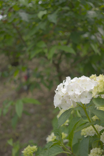 純白の紫陽花の素材 [FYI00108838]