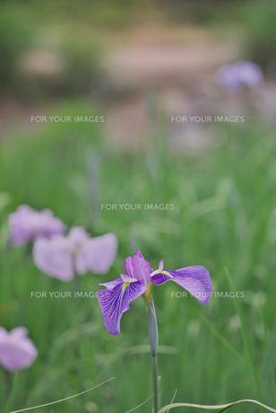 紫色の菖蒲の素材 [FYI00108844]
