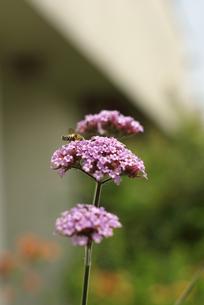 花の蜜を吸う蜂の素材 [FYI00108845]