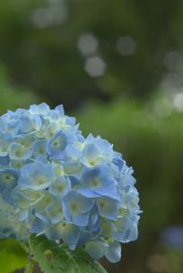 紫陽花の素材 [FYI00108847]