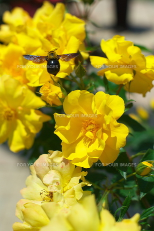 バラと蜂の素材 [FYI00108854]